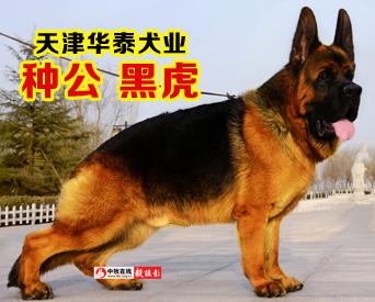 天津华泰犬业-黑虎